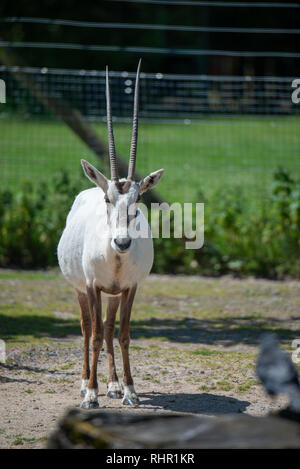 Scimitar-horned oryx standing - Stock Photo