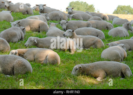 sheep laying in grass meadow - Stock Photo