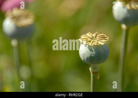 Three bulbs of poppy plant - Stock Photo
