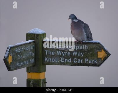 A Wood Pigeon, Columba palumbus, sitting on a  snow covered signpost pointing to Knott End, Lancashire, UK - Stock Photo