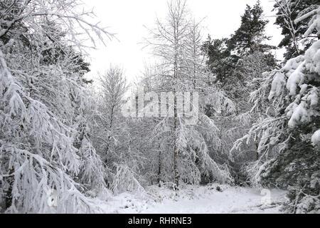 Snow fall on Haldon Forest park, Exeter, Devon - Stock Photo