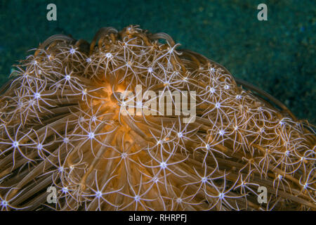 Close up image of Veretillum sp. sea pen on sea floor. Ambon, Indonesia - Stock Photo