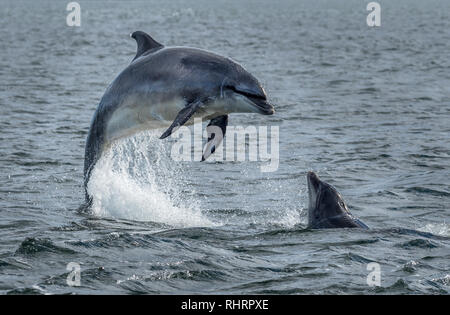 Wild Bottlenose Dolphins Jumping Out Of Ocean Water At The Moray Firth Near Inverness In Scotland - Stock Photo
