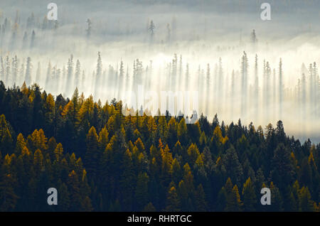 Western larch and evergreen forest in fall at sunrise as the sun burns through the fog. Yaak Valley, Northwest Montana - Stock Photo