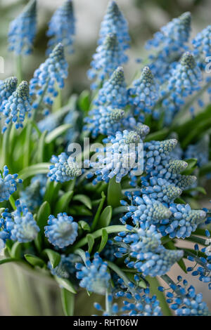 Bouquet of blue muscari flowers in glass vase on wooden table. Spring bulbous flowers. Flower shop concept - Stock Photo