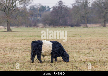 Belted Galloway cow with typical long hair coat and broad white belt, a traditional Scottish breed of beef cattle grazing in a field in Wisley, Surrey - Stock Photo