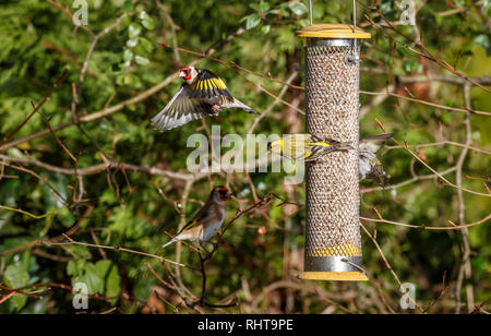 Siskins (Carduelis spinus) on a birdfeeder squabbling with a European goldfinch (Carduelis spinus) in flight flying with open wings in a garden in Surrey, south-east England in winter - Stock Photo