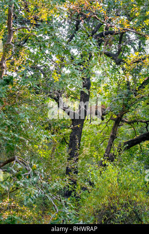a leopard relaxing on a branch after having a meal further up in the tree - Stock Photo