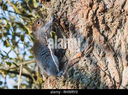 Grey Squirrel (Sciurus carolinensis) climbing up a tree trunk in Winter in West Sussex, England, UK.