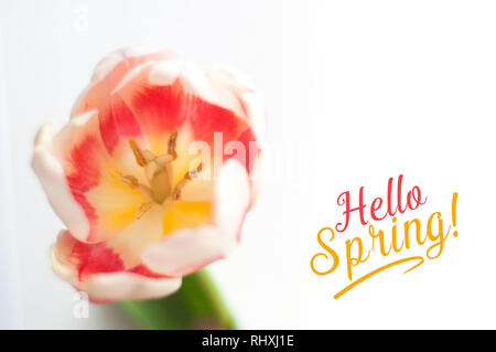 Greeting sprin card with a tulip and mesage: 'Hello Spring!' A red with white tulip isolated on white background - Stock Photo