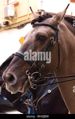 2019 February. Xirivella.Spain. First plane of a saddled horse prepared for a walk in the city - Stock Photo
