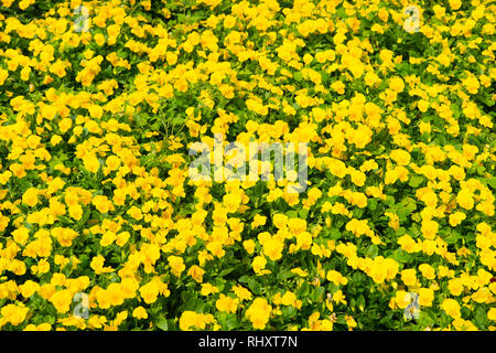 Spring or summer. Yellow pansies with green leaves in Hamilton, Bermuda. Pansy flowers in spring or summer bloom. Flowers blossoming in spring or summer garden. Flower shop. summer and spring season - Stock Photo