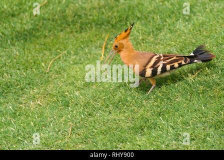 hoopoe in grass in Egypt - Stock Photo