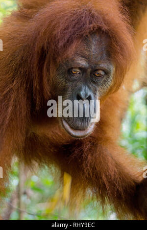 a orangutan in the Forests of Bukit Lawang on Sumatra - Stock Photo