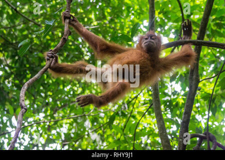 a cute baby orangutan in the Forests of Bukit Lawang on Sumatra - Stock Photo