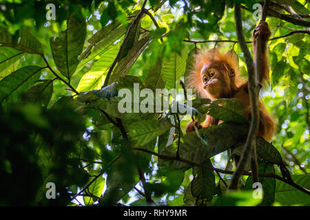 a cute baby orangutan in the Forests of Bukit Lawang on Sumatra. Taken during my trip to Sumatras in the Rainforest of Gunung Leuser National Park. th - Stock Photo