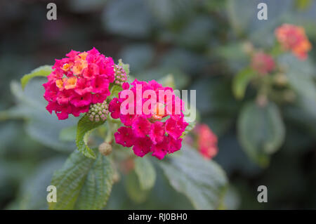 Two flowers of the lantana camera plant with space for text on the right - Stock Photo