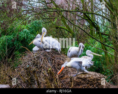 family of dalmatian pelicans on their nest, near threatened birds from Europe, group of pelicans together - Stock Photo