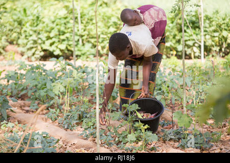 Samba village, Yako Province, Burkina Faso : Collette Guiguemde working in her husband's market garden, harvesting okra. - Stock Photo