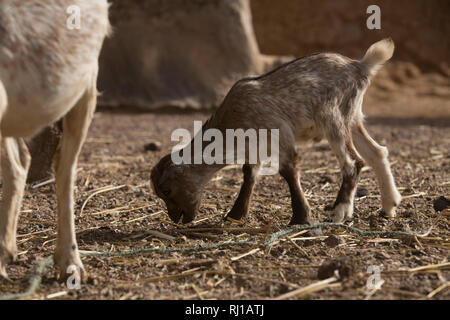 Kourono village, Yako province, Burkina Faso; A young goat kid recently born on Moussa Mande's farm. He is a Tree Aid goat project beneficiary. - Stock Photo