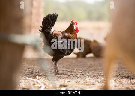 Kourono village, Yako province, Burkina Faso; Moussa Mande, 54, goat project beneficiary, also has chickens. - Stock Photo