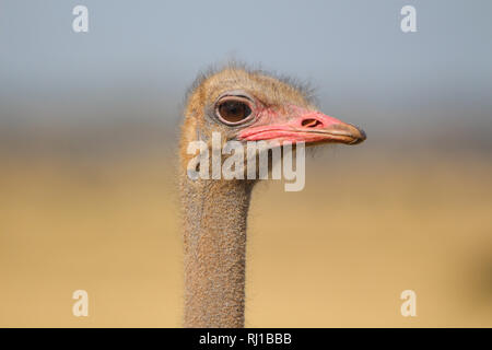 Close up of an Ostrich head - Stock Photo