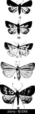 . Contributions toward a monograph of the insects of the Lepidopterous family Noctuidae of boreal North America [microform] : a revision of the Deltoid moths. Noctuidae; Lepidoptera; Moths; Noctuidés; Lépidoptères; Hétérocères. SPECIES OF HORMISA, PHILOMETRA, CHYTOLITA, AND TETANOLITA. I For HxiiliiuaiiDii nf |)late see paK*' 1--. i. Please note that these images are extracted from scanned page images that may have been digitally enhanced for readability - coloration and appearance of these illustrations may not perfectly resemble the original work.. Smith, John B. (John Bernhard), 1858-1912.  - Stock Photo
