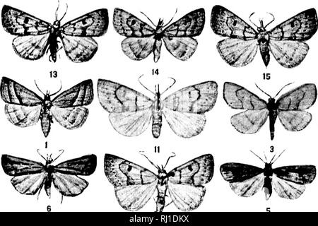 . Contributions toward a monograph of the insects of the Lepidopterous family Noctuidae of boreal North America [microform] : a revision of the Deltoid moths. Noctuidae; Lepidoptera; Moths; Noctuidés; Lépidoptères; Hétérocères. U. S. NATIONAL MUSEUM BULLETIN 48, PL IV. Please note that these images are extracted from scanned page images that may have been digitally enhanced for readability - coloration and appearance of these illustrations may not perfectly resemble the original work.. Smith, John B. (John Bernhard), 1858-1912. Washington : G. P. O. - Stock Photo