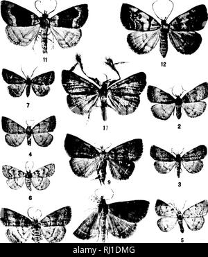 . Contributions toward a monograph of the insects of the Lepidopterous family Noctuidae of boreal North America [microform] : a revision of the Deltoid moths. Noctuidae; Lepidoptera; Moths; Noctuidés; Lépidoptères; Hétérocères. U. 3. NATIONAL MUSEUM BULLETIN 48, PL. II. 12. Please note that these images are extracted from scanned page images that may have been digitally enhanced for readability - coloration and appearance of these illustrations may not perfectly resemble the original work.. Smith, John B. (John Bernhard), 1858-1912. Washington : G. P. O. - Stock Photo