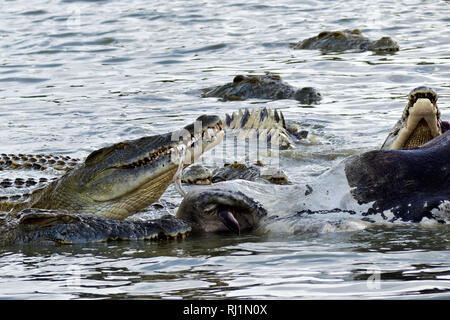 A group oflarge crocodiles join in a feeding franzy feeding off the carcasse of a large bull hippo that died in a territorial fight - Stock Photo