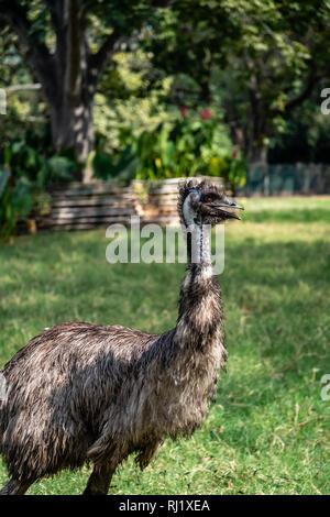 emu in Guatemalan zoo - Stock Photo