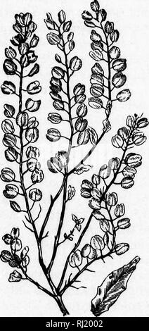 . Weeds, and how to eradicate them [microform]. Weeds; Weed control; Mauvaises herbes; Mauviases herbes, Lutte contre les. Specific Modes of Eradication. 191 of *eat late re- Ithe (3) PENNY CRESS. Penny cress (Thalaspi arvens^), more. PENNY CRESS. commonly known as French weed, is am. Please note that these images are extracted from scanned page images that may have been digitally enhanced for readability - coloration and appearance of these illustrations may not perfectly resemble the original work.. Shaw, Thomas, 1843-1918. Toronto : J. E. Bryant - Stock Photo