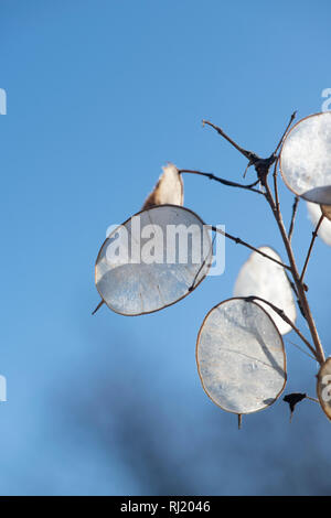 Lunaria annua. Honesty flower seed pods in winter against a blue sky. UK - Stock Photo