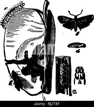 """. Practical agriculture [microform]. Agriculture; Agriculture. INSECTS OF THE ORCHARD. """"3 B^ two or three times a day to feed. Therefore we should be care- ful to see that they are all at home before the nests are re- moved. Spraying with Paris green will help to destroy all leaf- eating caterpillars. The Codling Moth.—Codling is an old word for a cook- ing apple. We know what a moth is (see pages 77 and 78). We have seen an apple with a dark worm hole in it, and we have cut the apple open and have found the little white worm inside. Now for its history. In our illustration, fig. 59, g is - Stock Photo"""