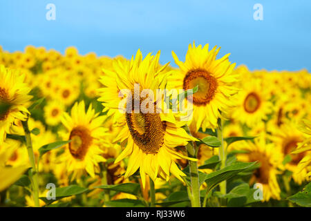 Fields with an infinite sunflower. Agricultural field. Sunflowers blooming in the bright blue sky, nice landscape with sunflowers - Stock Photo