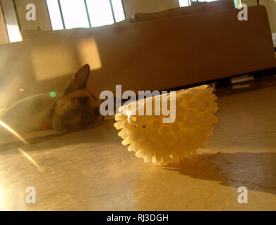 Tired dog, laying on the floor, indoors, starring at animal's white rubber toy, in mid morning sunlight, sofa in the background of a living room. - Stock Photo