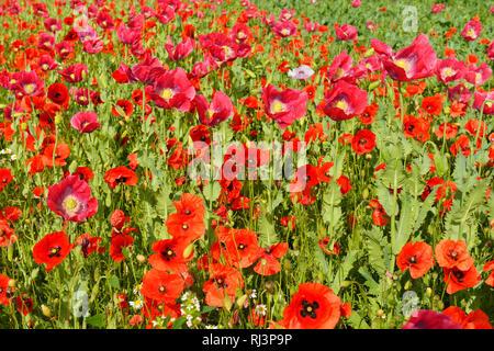 Opium Poppy, Papaver somniferum, and Corn Poppy, Papaver rhoeas, Field, Summer, Germerode, Hoher Meissner, Werra Meissner District, Hesse, Germany - Stock Photo
