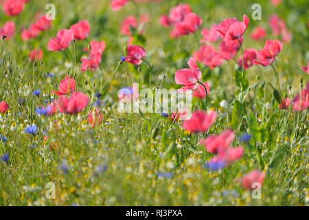 Opium Poppy Field, Papaver somniferum, and Chamomile, Matricaria chamomilla, Summer, Germerode, Hoher Meissner, Werra Meissner District, Hesse, German - Stock Photo