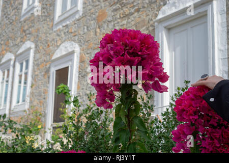 Coming from cold Toronto it was a treat to see beautiful fully bloomed bushes of Bougainvilleas on Hydra Island