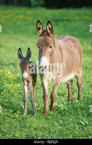 Hausesel, Equus asinus asinus, Stute, Fohlen, Wiese, frontal, stehen, Blick Kamera - Stock Photo
