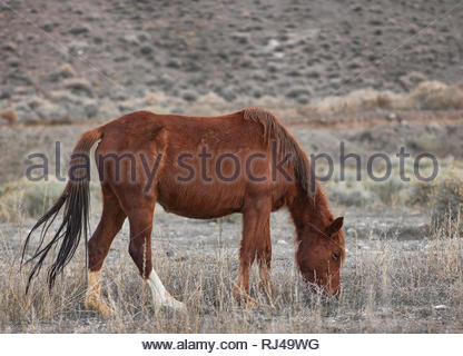 Brown Wild Mustang horse eating in the Nevada desert. - Stock Photo