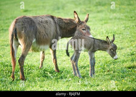 Hausesel, Equus asinus asinus, Stute, Fohlen, Wiese, seitlich, stehen - Stock Photo
