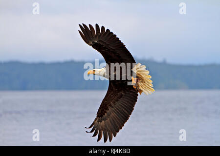 Bald eagle in flight with a fresh caught rock fish in its powerful talons, Pacific Ocean off the British Columbia coast, Canada. - Stock Photo