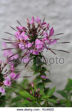 Spinnenblume, Blüten, pink, Cleome spinosa - Stock Photo
