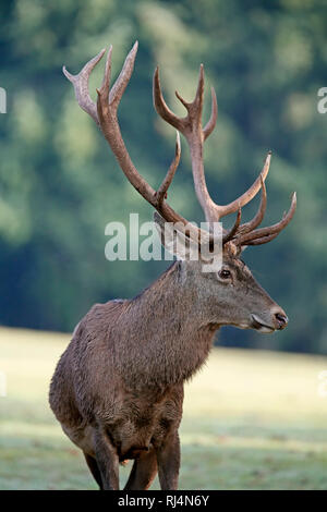 Rotwild, Cervus elaphus, Brunft, Hirsch, captive, Deutschland - Stock Photo