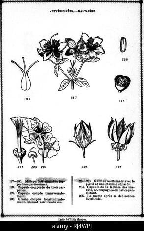 . Cours élémentaire de botanique et flore du Canada à l'usage des maisons d'éducation [microforme]. Botanique; Plantes; Botany; Plants. une l'em- 5 ( I â PLANCHE XXXIV.. Please note that these images are extracted from scanned page images that may have been digitally enhanced for readability - coloration and appearance of these illustrations may not perfectly resemble the original work.. Moyen, J. (Jean), 1828-1899. Montréal : G. E. Desbarats - Stock Photo