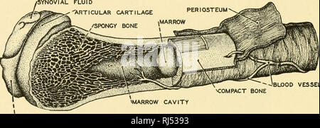 """. Chordate anatomy. Chordata; Anatomy, Comparative. I04 CHORDATE ANATOMY Bone. Cartilage and bone are similar in that their essential skeletal material is a non-living matrix within which are imbedded living cells. Bone differs from cartilage in that the matrix is highly calcified and cor- respondingly hard and also in that it never exhibits the apparent homo- geneity of the matrix of hyaline cartilage but is disposed in very thin. -'BLOOD VESSEL ^COMPACT BONE ^MARROW ARTICULAR UGAMENT Fig. 100.—Diagram of the structure of a long bone. (Redrawn from Kahn's """" Der Mensch,"""" Albert Miill - Stock Photo"""