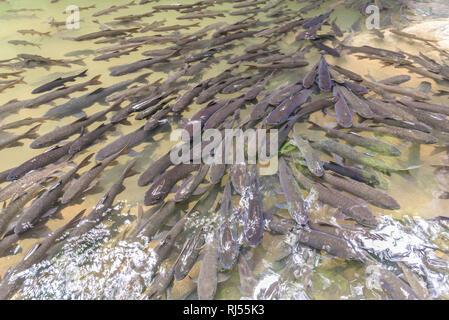 Mahseer Barb fish at Pliew Waterfall national park in Chanthaburi, Thailand. - Stock Photo