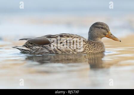 Mallard (Anas platyrhynchos), female swimming in water, Saxony, Germany - Stock Photo