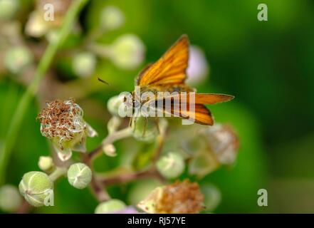Silver-spotted skipper (Hesperia comma), Montenegro - Stock Photo